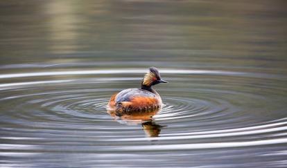 black-necked-grebe-1653255_640