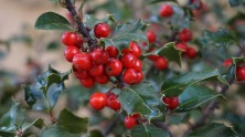 holly-tree-1030595_640.jpg